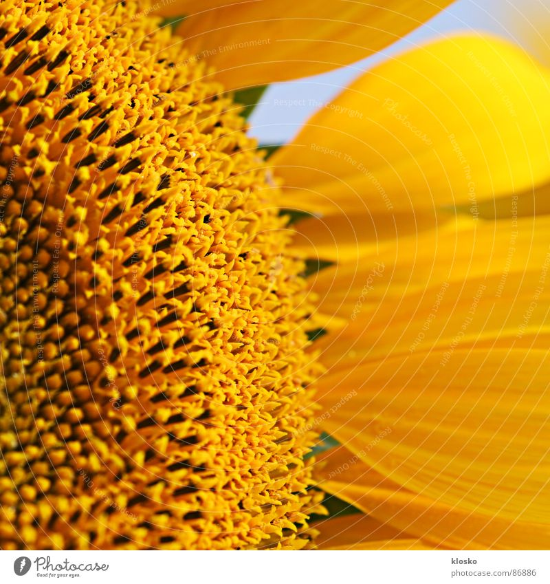 Sunflower Sonnenblumenöl gelb Sommer rund Makroaufnahme Blüte Erfolg Innere Kraft Blühend Leidenschaft Sommerloch Kreis Erdöl Energiewirtschaft florieren