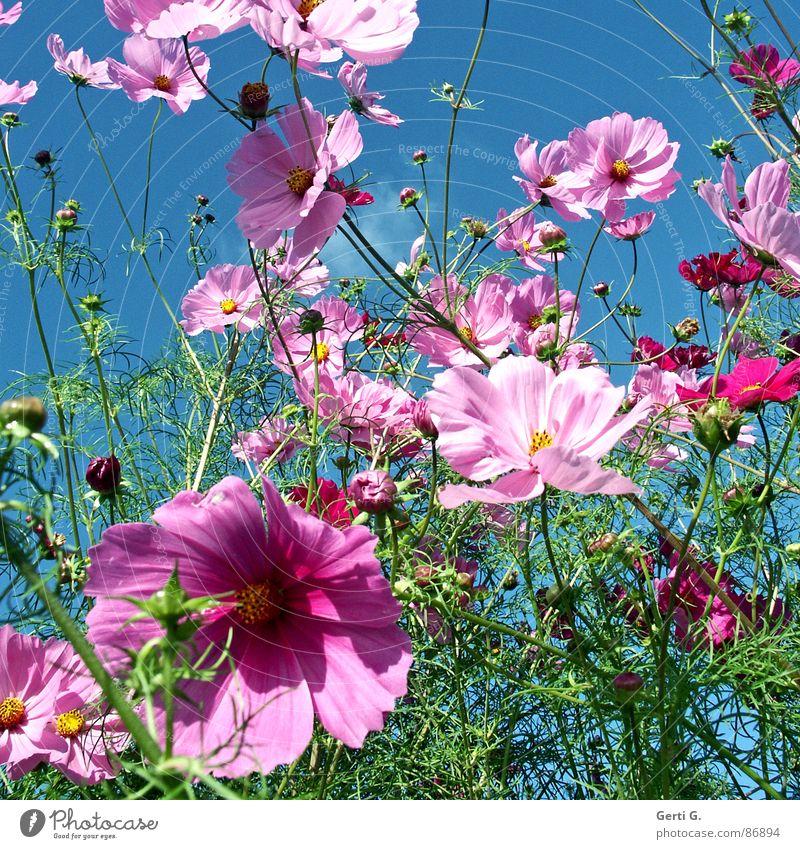 let the sunshine in Himmel Blume grün Blüte Bewegung Frühling rosa Wind frisch mehrere viele Blütenknospen durcheinander grell himmelblau