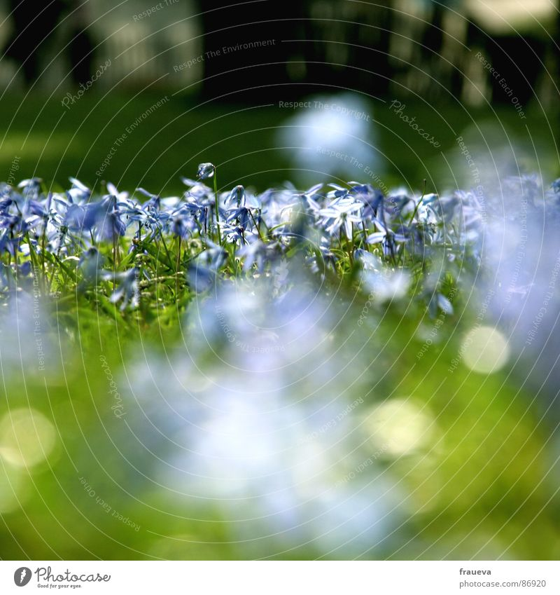 paradies Blume Wiese Licht Biologie Frühling grün glänzend Lichteinfall violett Waldlichtung Waldwiese pflanzlich Garten Park Sonne flowers blue grass lawn