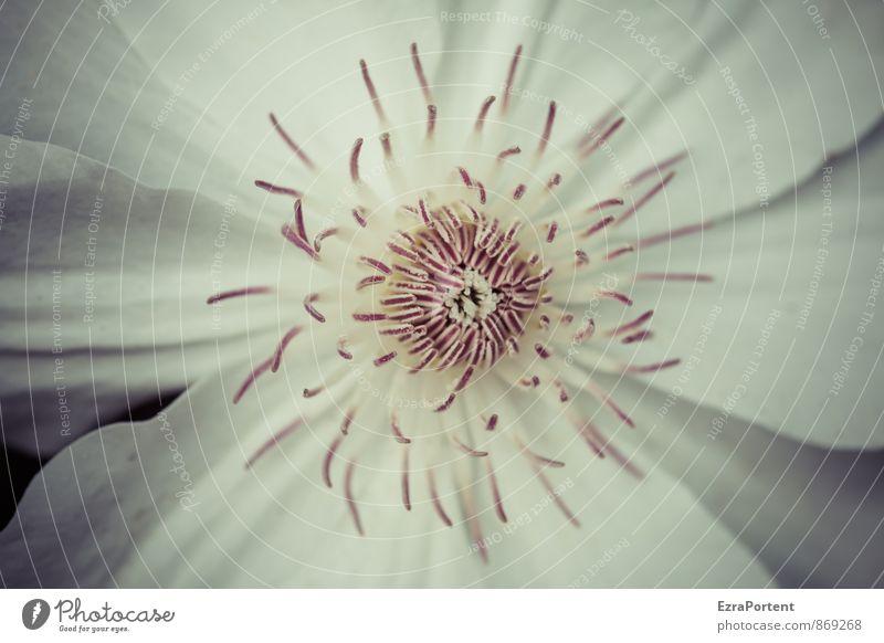 Anreiz Umwelt Natur Pflanze Frühling Sommer Herbst Blume Blüte Garten ästhetisch natürlich schön weiß Farbe ruhig Blühend Blütenblatt Blütenkelch Clematis