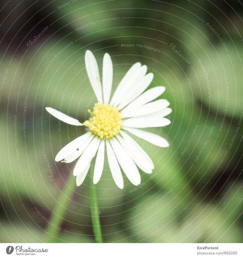 dann eben nicht Umwelt Landschaft Pflanze Frühling Sommer Klima Wetter Blume Wildpflanze Garten Park Wiese Feld ästhetisch Kitsch natürlich gelb grün weiß