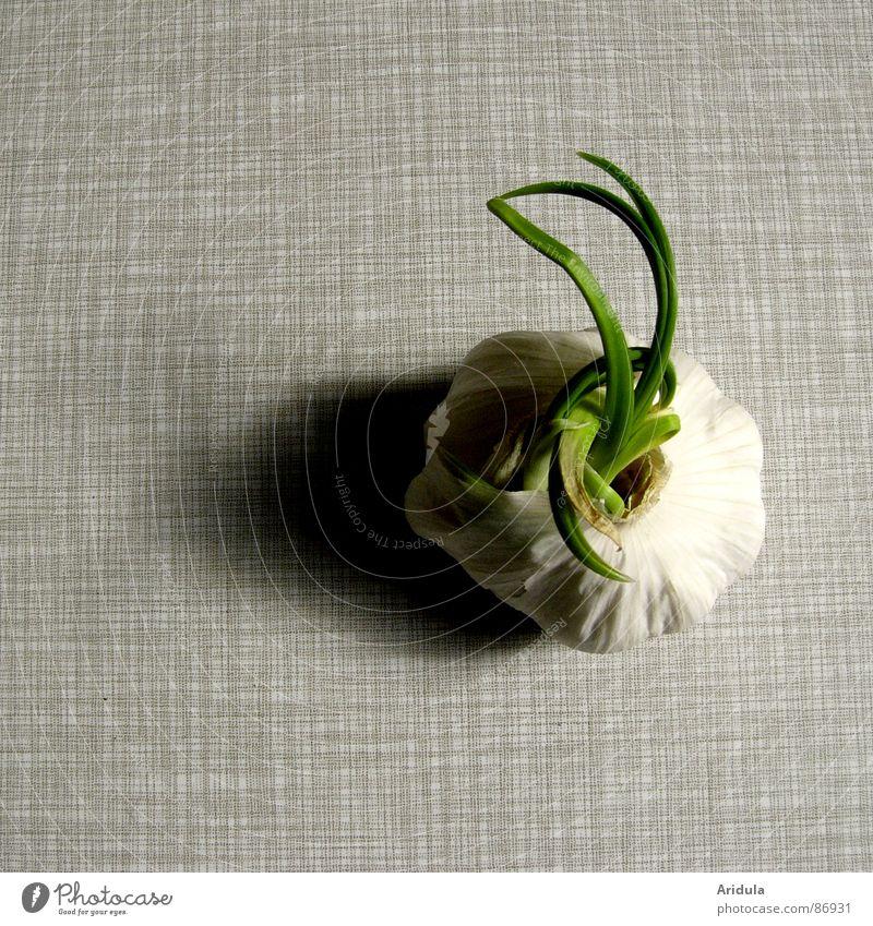 knoblauch no.2 grün Ernährung Leben grau Gesundheit Arme Tisch Wachstum Küche Gastronomie unheimlich Monster Geschmackssinn aromatisch ausbreiten verdunkeln