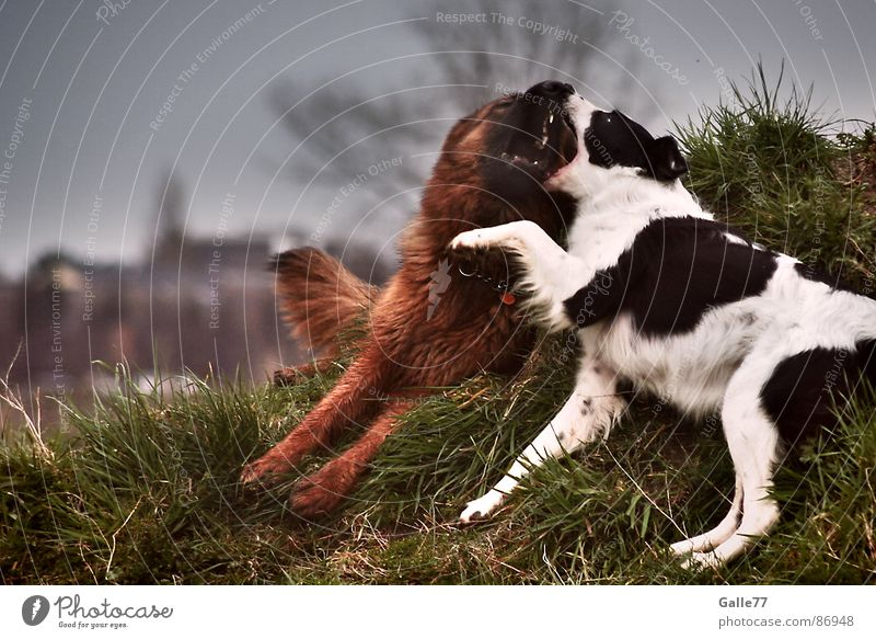 Dicke Freunde Hund Spielen Leben mögen Liebesaffäre toben Unbeschwertheit Säugetier beißen liegen Freude lebenskräftig sich berührend Gebiss