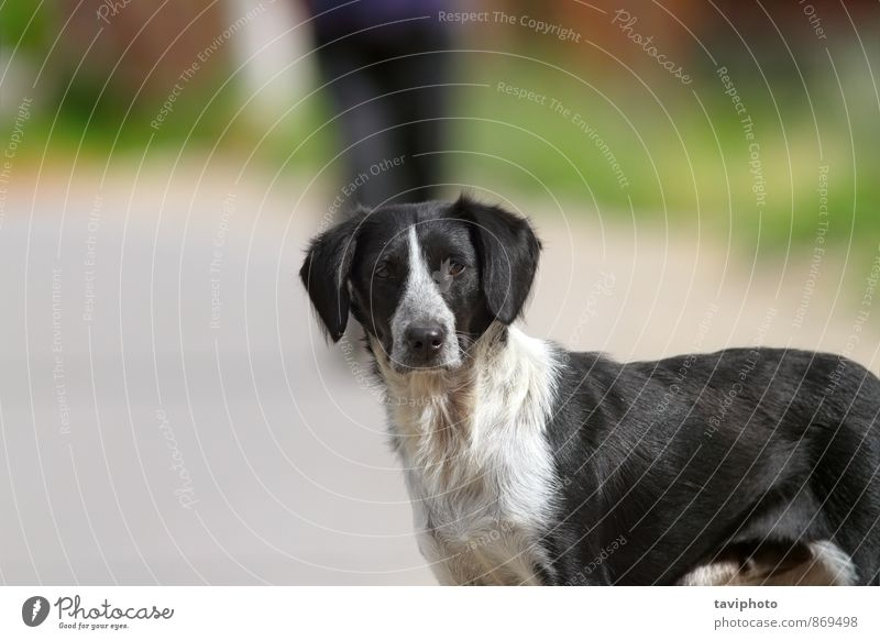 Wildhundporträt auf der Straße Gesicht Freundschaft Natur Tier Haustier Hund Traurigkeit dreckig klein niedlich schwarz Müdigkeit Appetit & Hunger Einsamkeit