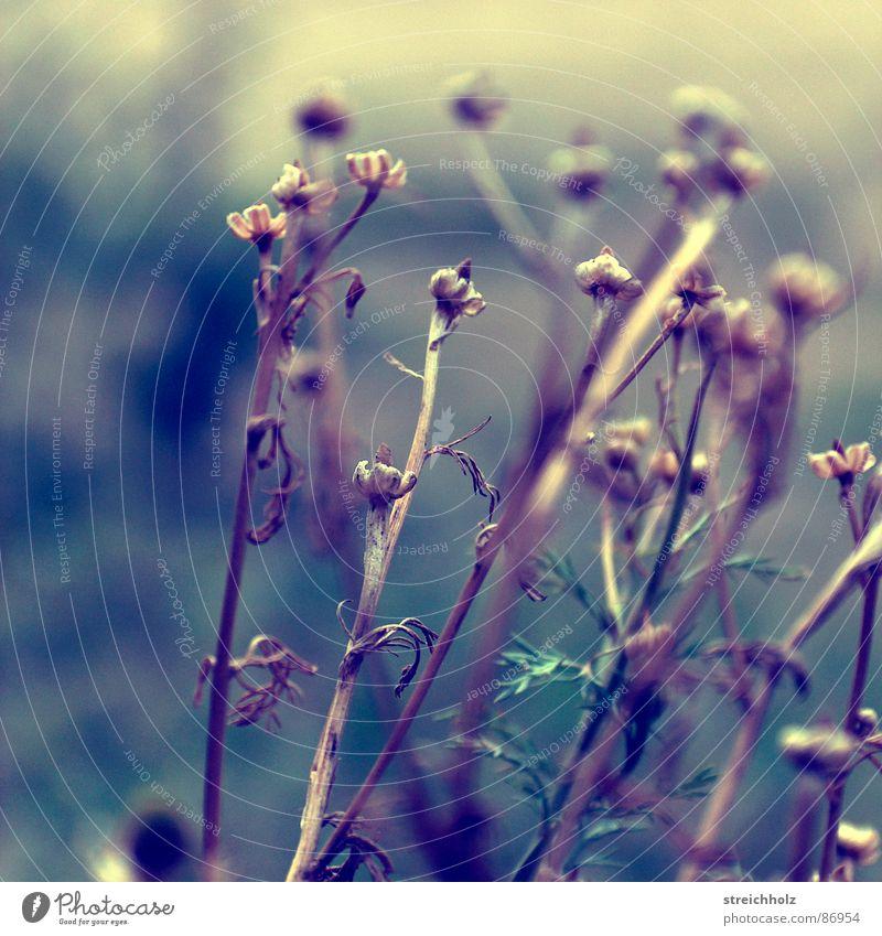 Heublumen Pflanze gelb Traurigkeit kaputt Trauer trocken dünn Blumenstrauß Löwenzahn Müdigkeit Beet ernst Schwäche beige Dürre Hippie