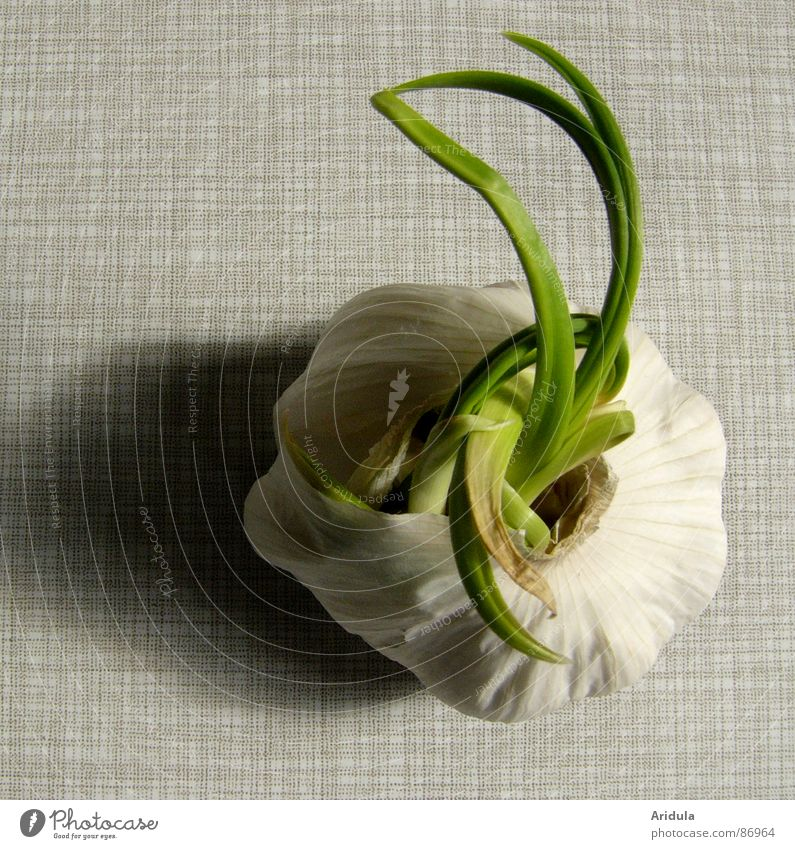knoblauch no.3 grün Ernährung Leben grau Gesundheit Arme Tisch Wachstum Küche unheimlich Monster Geschmackssinn aromatisch ausbreiten verdunkeln Vegetarische Ernährung