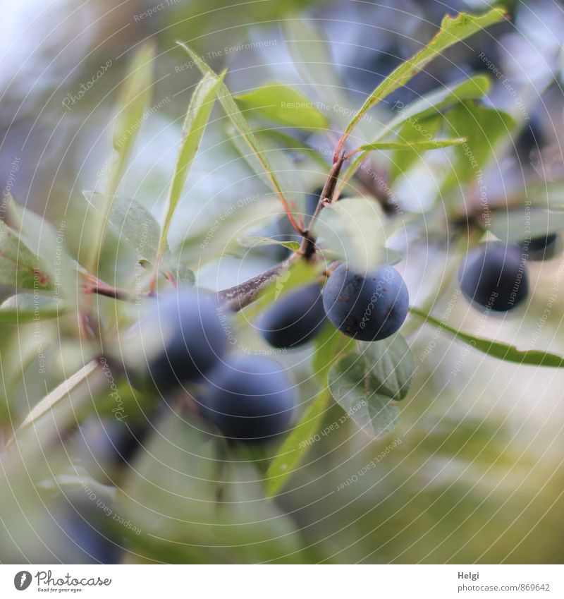 Schwarzdornbeeren... Natur blau Pflanze grün Sommer Blatt Umwelt natürlich klein braun Wachstum Sträucher ästhetisch rund einzigartig Zweig