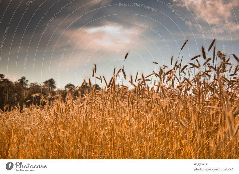 Kornreife Umwelt Landschaft Tier Himmel Wolken Gewitterwolken Sonnenlicht Sommer Pflanze Baum Getreide Getreidefeld Ähren Kornfeld Roggen Feld Waldrand leuchten