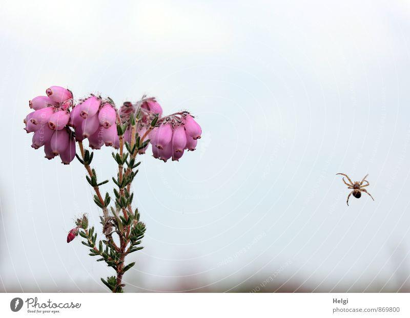 Glockenheide ... Umwelt Natur Pflanze Tier Himmel Sommer Baum Blüte Wildpflanze Heidekrautgewächse Moor Sumpf Spinne 1 Blühend hängen Wachstum außergewöhnlich