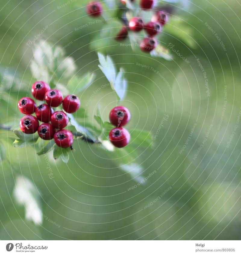 Früchtchen... Umwelt Natur Pflanze Sommer Herbst Sträucher Blatt Wildpflanze Weissdorn Beeren Beerenfruchtstand Zweig Park hängen Wachstum ästhetisch frisch