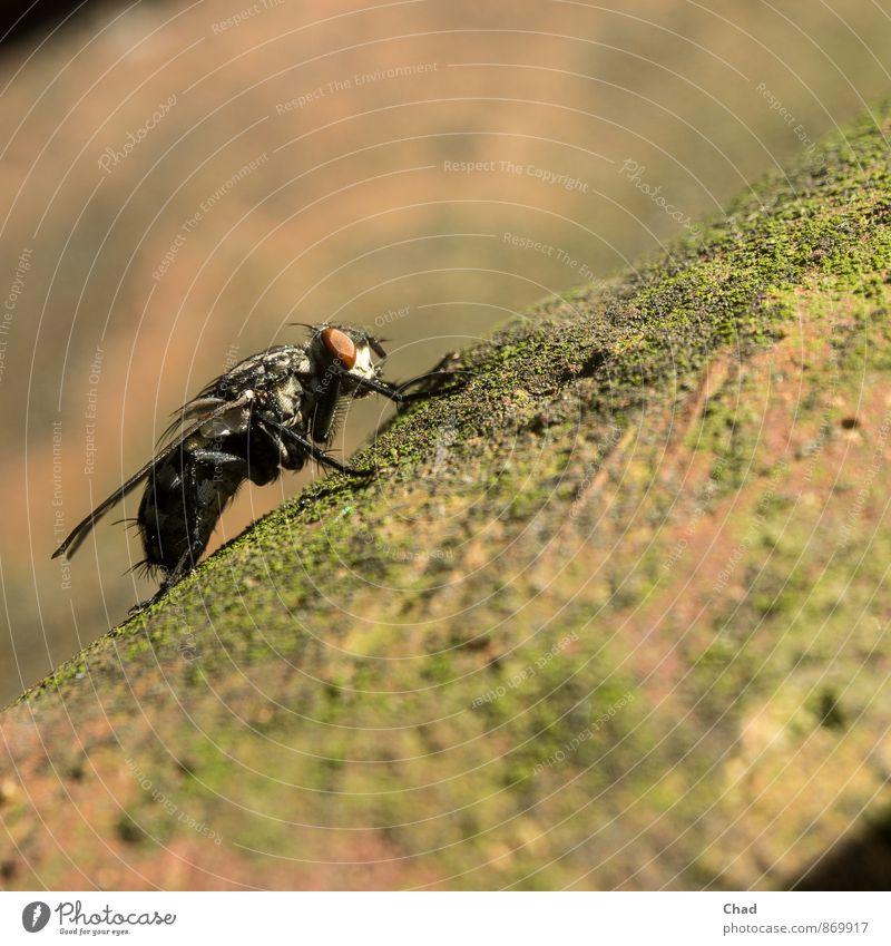Schmeiß Fliege Tier Flügel Schmeißfliege 1 Auge Moos Patina Stein fliegen krabbeln alt braun grün orange schwarz Pause Farbfoto Außenaufnahme Nahaufnahme