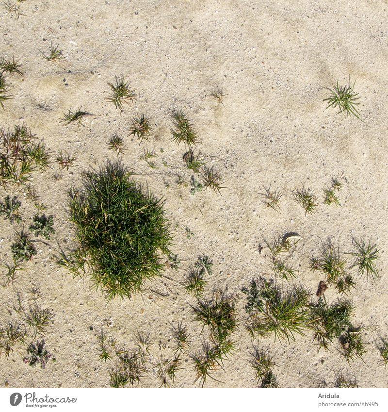 sandrasen Halm Muster grün Strukturen & Formen Streusand Gras beige Wüste Stein Mineralien Strand Küste versanden Insel Rasen Natur Bodenbelag