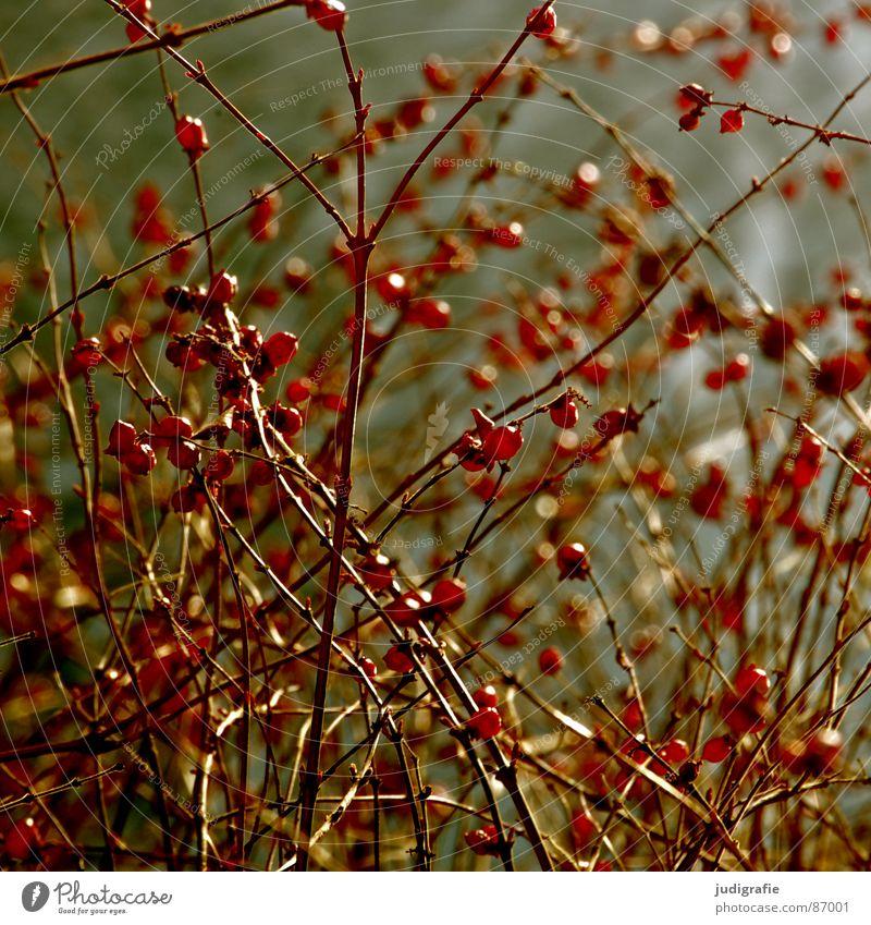 rot und rund Natur Pflanze Umwelt Herbst Frucht Wachstum mehrere Sträucher viele Zweig Kugel Beeren Botanik Wildpflanze