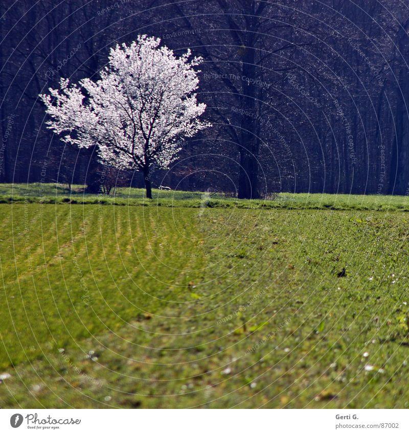 full-blown Blume Staubfäden Blühend Blüte einzeln Einsamkeit Feld Wiese Wald Waldrand Frühling Frühblüher grau grün Jahreszeiten Sonnenlicht Baumstamm