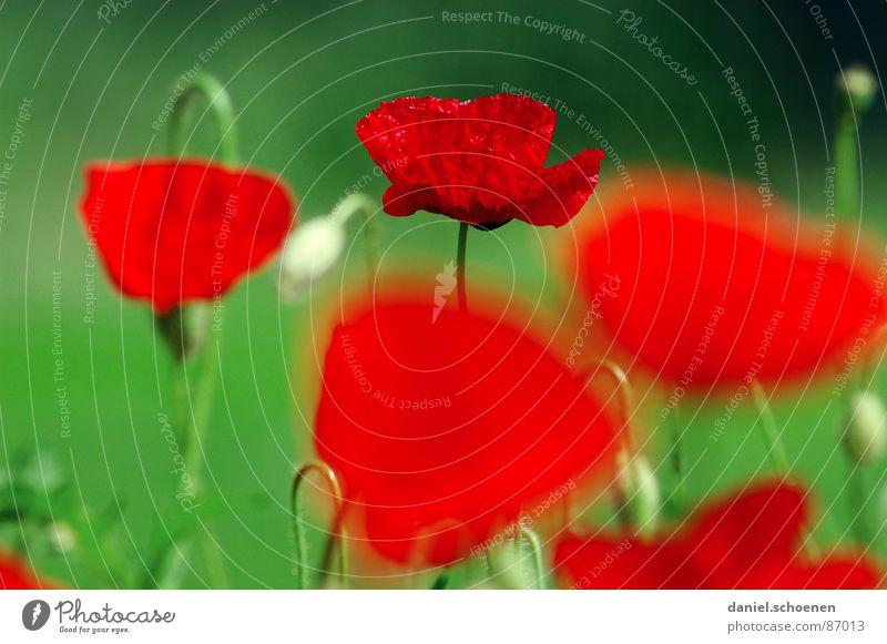 sommerlicher Rot-Grün-Kontrast Natur Blume grün rot Sommer Wiese Blüte Gras Frühling Hintergrundbild Umwelt Mohn Weide Tiefenschärfe Klatschmohn grasgrün