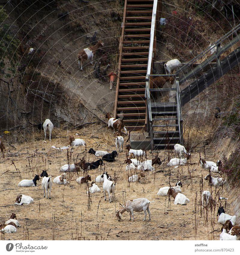 Tierisch gut: Ziegen Stadt Sommer außergewöhnlich Tiergruppe Weide Dürre Herde Nutztier Viehhaltung
