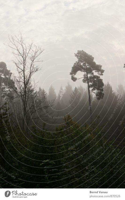 hoch hinaus Umwelt Natur Pflanze Himmel Wolken Baum Wald schön grün einzeln aufstrebend Nebel Dunst dunkel verträumt Farbfoto Außenaufnahme Menschenleer