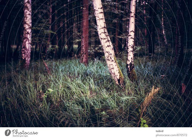 Lichtung im Wald Natur Landschaft Pflanze Baum Gras Sträucher Moos Birke dunkel kalt Einsamkeit Waldlichtung Farbfoto Gedeckte Farben Menschenleer Abend