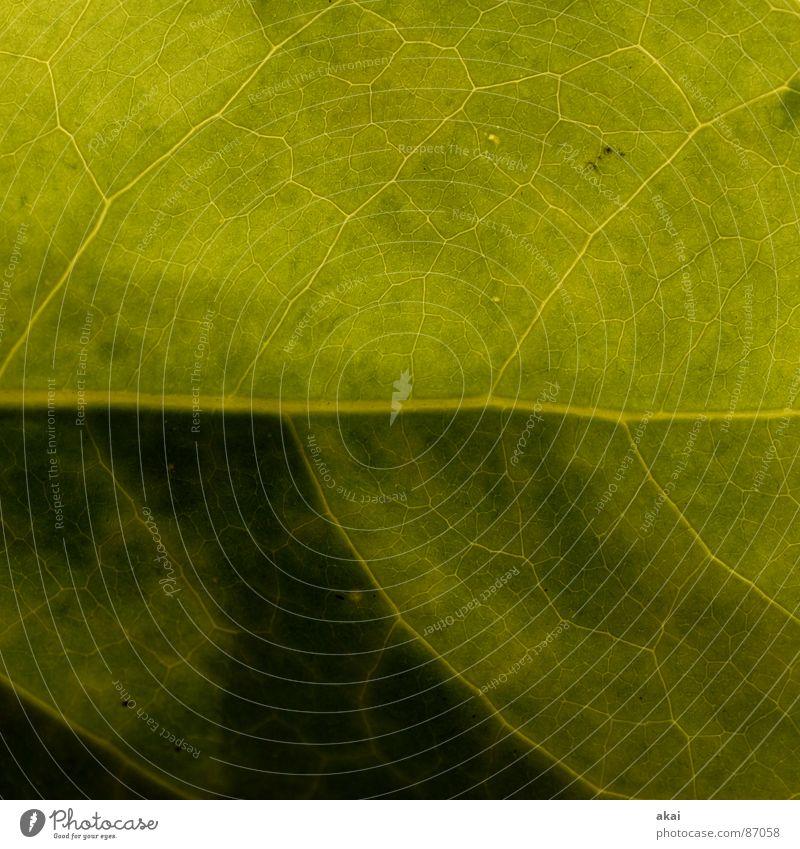 Schefflera arboricola Araliengwächs Pflanze Urwald Südamerika Wildnis grün Botanik Pflanzenteile pflanzlich Umwelt Sträucher Wildpflanze Wohnzimmer