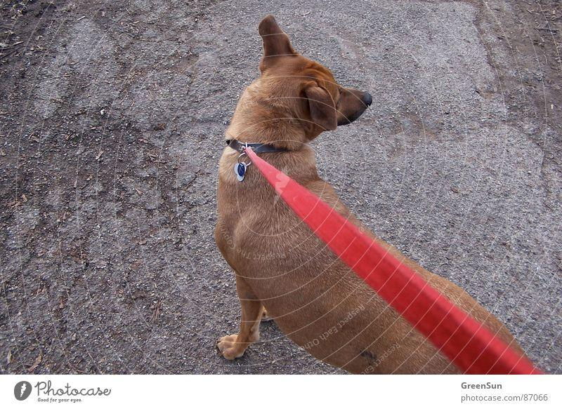 Die rote Leitung Natur rot ruhig Tier grau Linie braun Seil Asphalt lang Säugetier Riss schwer