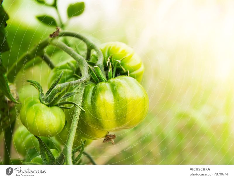 green tomatoes in sunny garden Freizeit & Hobby Sommer Natur gelb vine planen growing food healthy fruit ripe natural fresh group close field outside ingredient