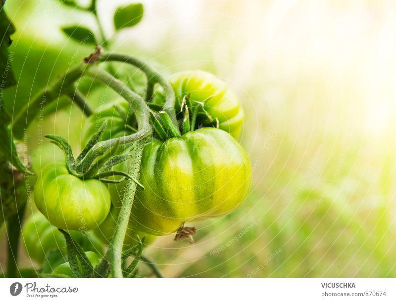 green tomatoes in sunny garden Natur Sommer gelb Freizeit & Hobby planen
