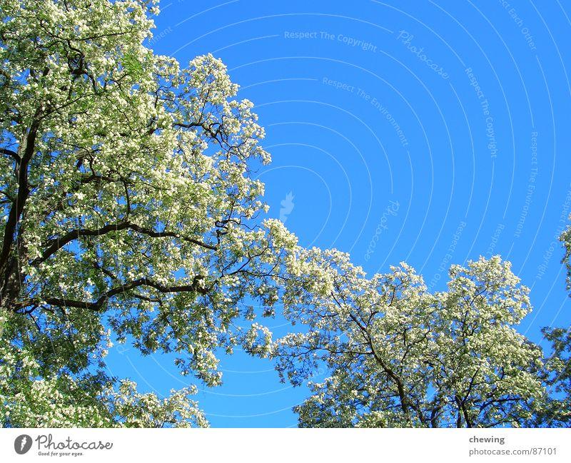 blütenpracht Frühling Sommer Blüte gedreht gelb braun grün Blühend Klarheit Schutzdach Paradies Himmel Sommerloch Jahreszeiten Asien Ast Farbe Anschnitt Zweig