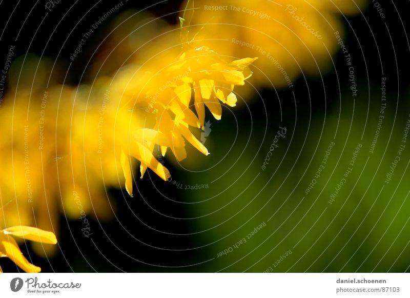 und der Frühling kommt doch ! Natur grün Blume Umwelt gelb Blüte Hintergrundbild Tiefenschärfe