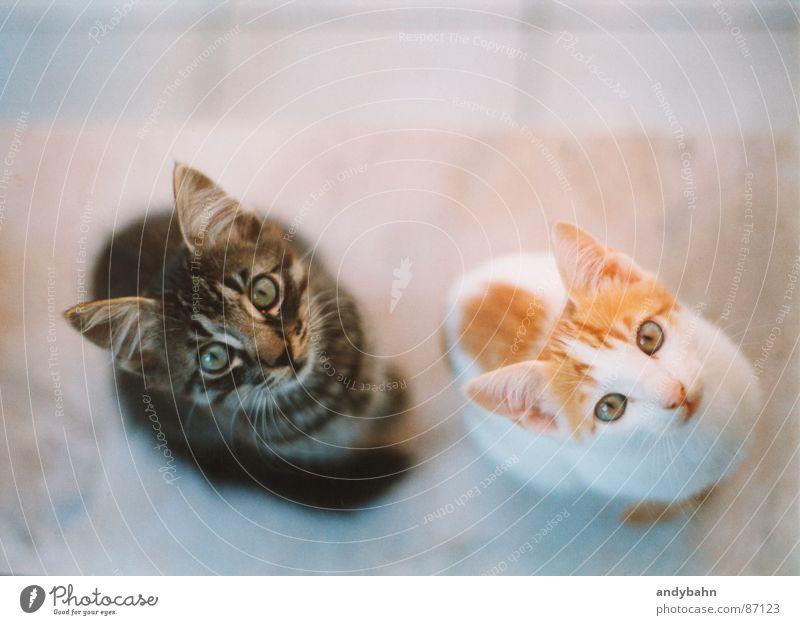 Hypnose Tier Haustier Katze Tiergesicht 2 Tierpaar Appetit & Hunger Neugier betteln Miau synchron fixieren Säugetier schnorren hungrig sein Momentaufnahme Tiger
