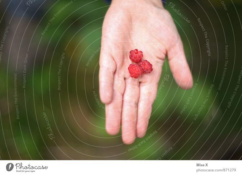 Himbeeren Lebensmittel Frucht Ernährung Essen Bioprodukte Vegetarische Ernährung Gesunde Ernährung Ausflug Garten Mensch Hand Finger 1 3-8 Jahre Kind Kindheit