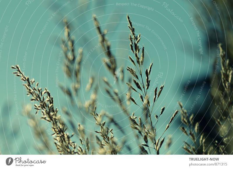 Seelenbalsam | Stille Gräser... Natur Pflanze Luft Wolkenloser Himmel Sonnenlicht Sommer Schönes Wetter Gras Grünpflanze Wildpflanze Wiese ästhetisch