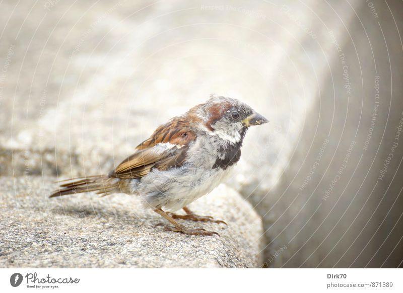Kleiner Zausel Bretagne Stadt Straße Bordsteinkante Tier Wildtier Vogel Spatz Haussperling 1 Stein Beton Blick sitzen warten alt frech frei klein braun gelb