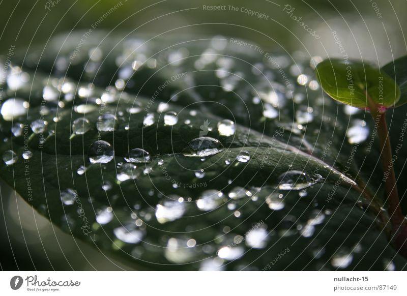 ... tropf ... tropf ... Wassertropfen nass Regen Pflanze feucht Hoffnung Wunsch rund grün wasserdicht Naturphänomene Flüchtiger Blick Botanik wetterfest gießen