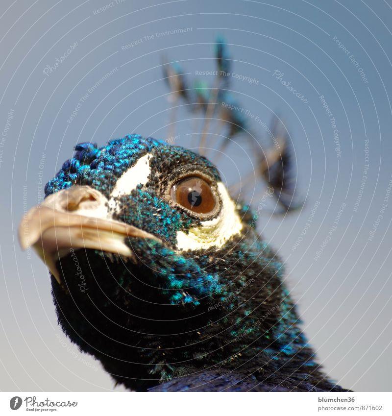 Blickkontakt Tier Wildtier Vogel Tiergesicht Pfau Hühnervögel Federvieh Auge Schnabel Kopf Pfauenfeder beobachten ästhetisch bedrohlich schön blau türkis weiß