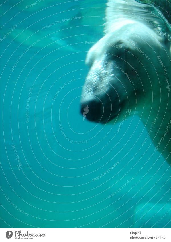 augen zu und durch Wasser Luft Schwimmbad tauchen Zoo Säugetier Bär Tier Eisbär Tiergarten Wasserschwall