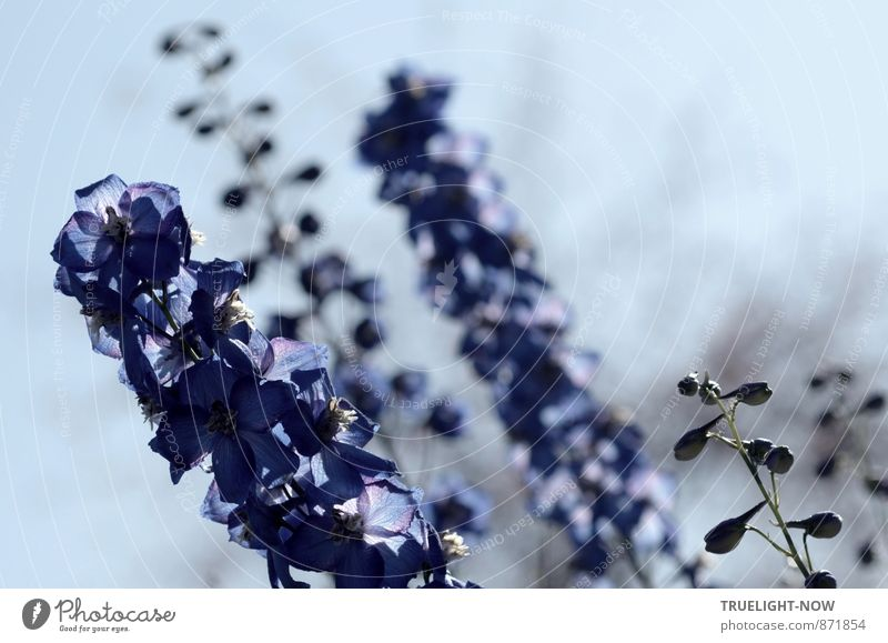 Ritter Sporn Himmel Natur blau Pflanze schön Farbe Blume Leben Blüte grau Garten elegant Kraft Energie frisch ästhetisch