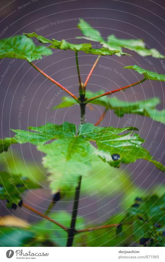 Zartes Pflänzchen,Eine  Grünpflanze, zarte Blätter und noch ganz klein. elegant Sinnesorgane Meditation wandern Natur Sommer Pflanze Blatt Wildpflanze Wald