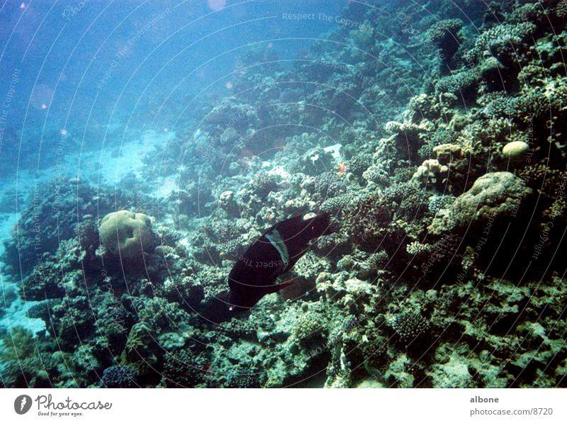 schwarzer Barsch Wasser Fisch Korallen