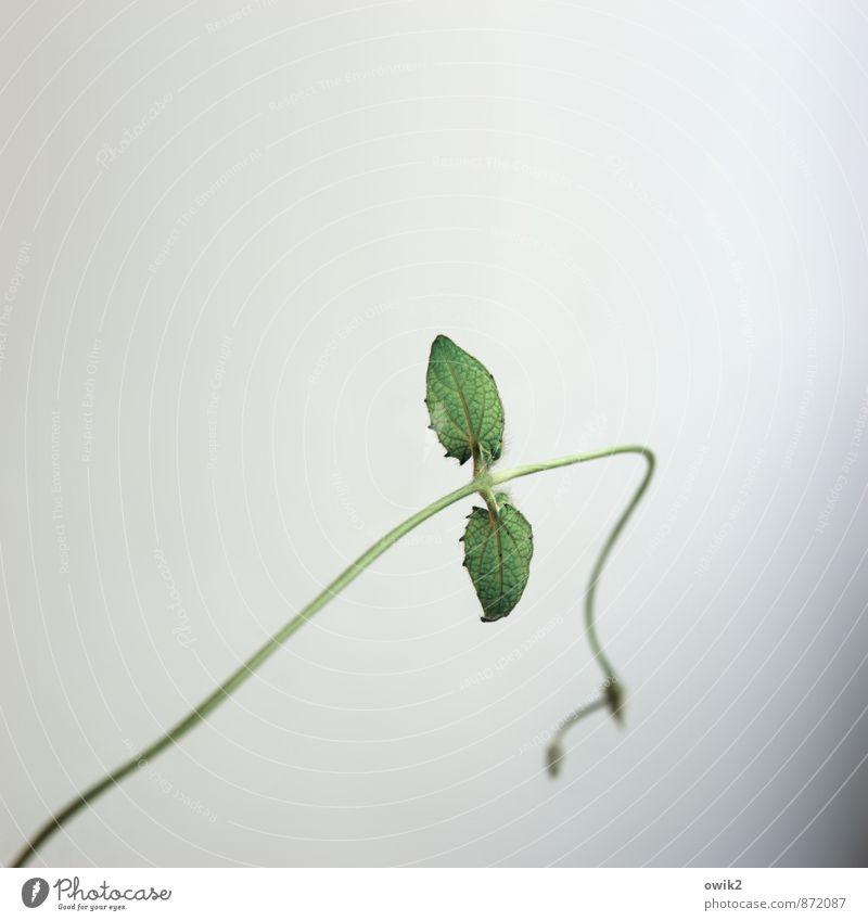 Durchhänger Pflanze grün Einsamkeit Blatt Leben Traurigkeit Bewegung klein Wachstum elegant einzeln Lebensfreude Wandel & Veränderung dünn Mut hängen