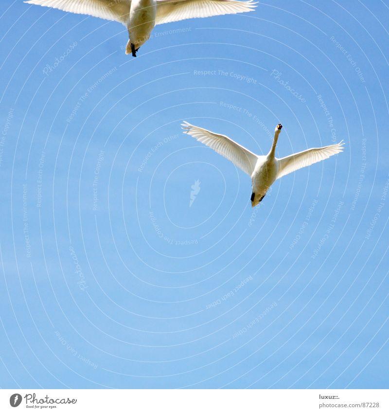 abflug Himmel weiß blau Ferien & Urlaub & Reisen Liebe Tier 2 Zusammensein Vogel Tierpaar hoch Luftverkehr paarweise Feder Flügel Jagd