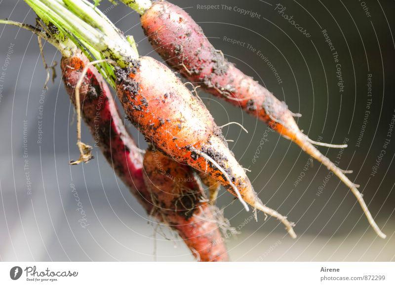 Carotinlieferanten Natur grün rot natürlich Gesundheit Garten orange Wachstum dreckig frisch einfach einzigartig Landwirtschaft Gemüse lecker Ernte