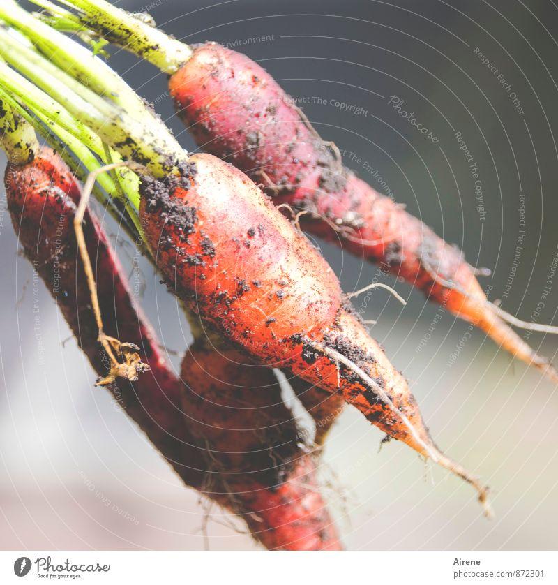 für Kaninchen und andere Feinschmecker Natur Pflanze grün rot Essen Gesundheit Garten Lebensmittel Arbeit & Erwerbstätigkeit orange Wachstum dreckig Erde frisch genießen Ernährung