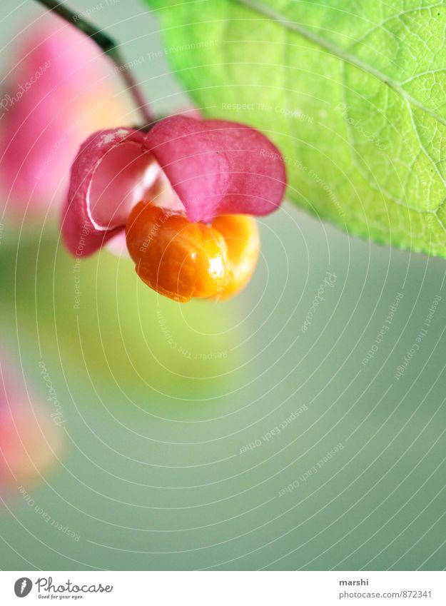 BlumenPopcorn Natur Pflanze Garten orange rosa Blütenknospen Farbfoto Außenaufnahme Nahaufnahme Detailaufnahme Makroaufnahme Unschärfe