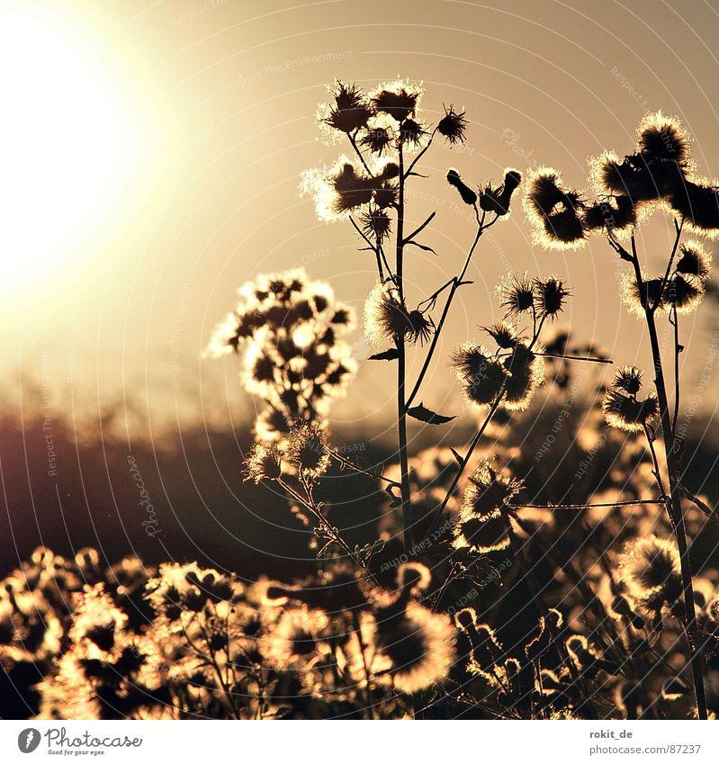 Blendend.. Sonnenuntergang Distel Pflanze Blüte spät blenden braun Wegrand Gartenarbeit beige Pflanzenteile Aussaat Pollen Morgen Ferne Botanik Blütenstiel