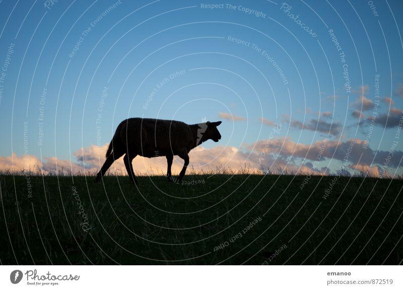 Deichschaf Natur Landschaft Himmel Wolken Horizont Gras Wiese Feld Tier Nutztier 1 Fressen laufen blau schwarz Einsamkeit Schaf flüchten Angst Schafswolle