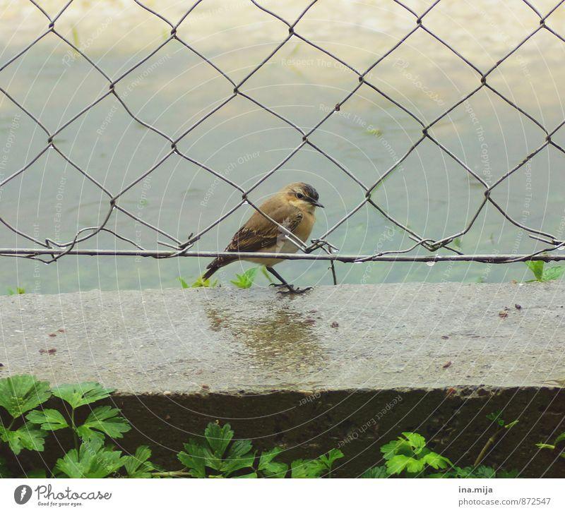 Freiraum Natur Frühling Sommer schlechtes Wetter Regen Pflanze Gras Tier Wildtier Vogel 1 Tierjunges Freiheit klein Vogelkäfig Maschendrahtzaun Zaun stehen