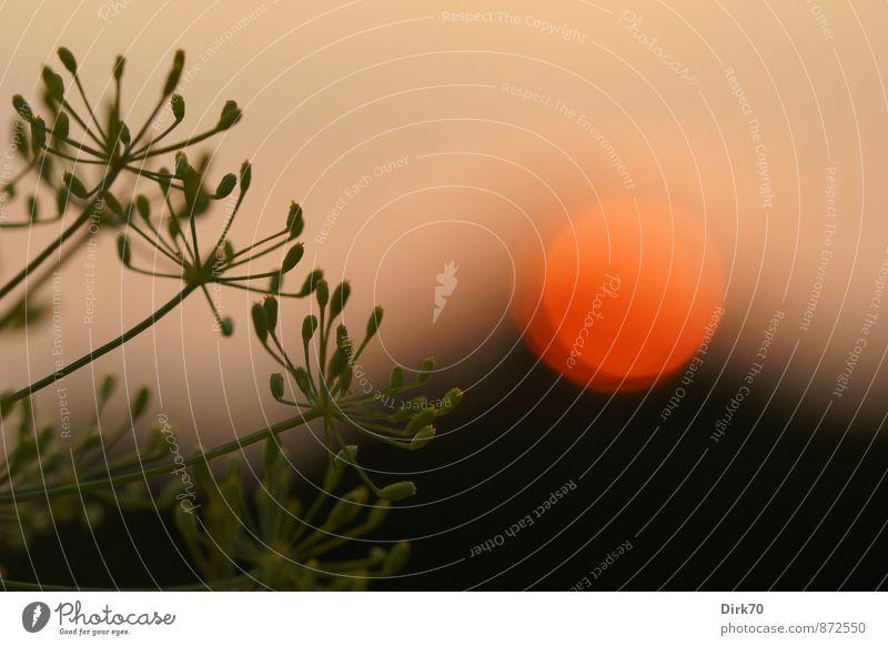 Dillspitzen vor Sonnenuntergang Lebensmittel Kräuter & Gewürze Ernährung Gesunde Ernährung Pflanze Sonnenaufgang Sonnenlicht Sommer Schönes Wetter Nutzpflanze