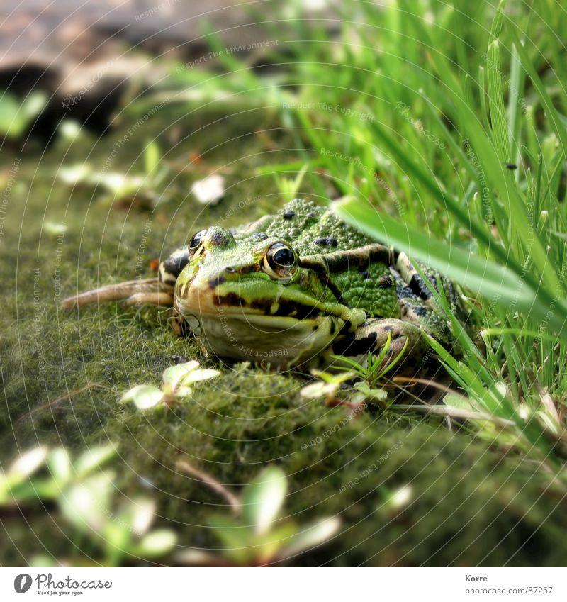 Frühschoppen Natur grün Tier Gras Garten See Park warten Umwelt Boden Bodenbelag beobachten Frosch Teich Biologie Bioprodukte