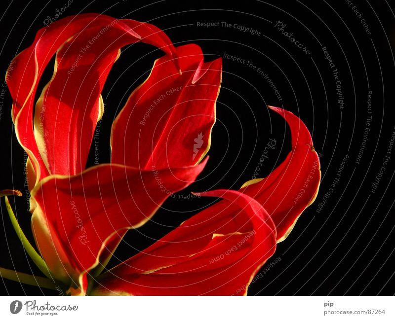 Grrr Pflanze Blumenstrauß Blüte zart mehrere Staubfäden rot schwarz Krallen ästhetisch elegant entfalten Blühend Duft aromatisch würze Stempel Blütenkelch