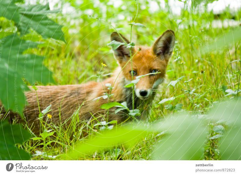 Neuer Fuchs Tier Wildtier Fell direkt Landraubtier Pelzmantel Pelzjacke Pelztier Tollwut Pelzmütze Rotfuchs